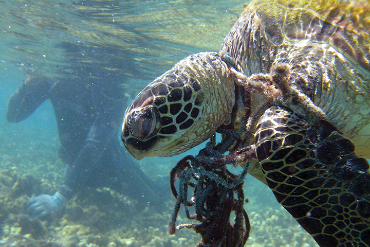 Hawksbill-GreenSea-Turtle-tangled-net_noaa_720